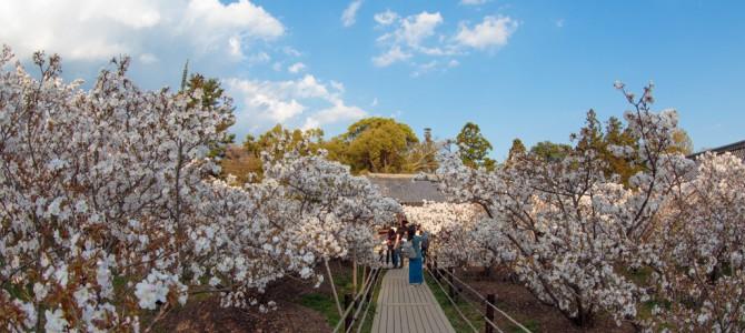 [Days]京都の桜
